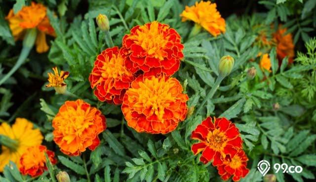cara menanam bunga marigold