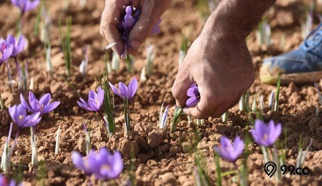 cara menanam bunga saffron