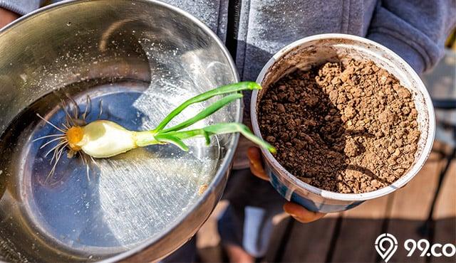 Cara Menanam Daun Bawang dalam Pot yang Benar. Panennya Cepat!