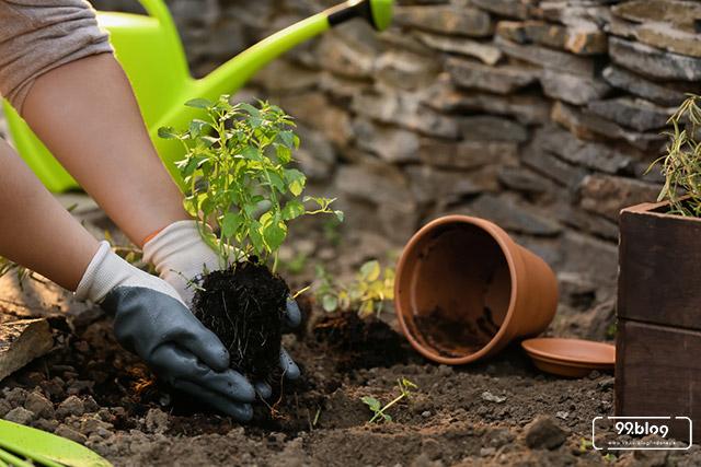 cara menanam daun mint
