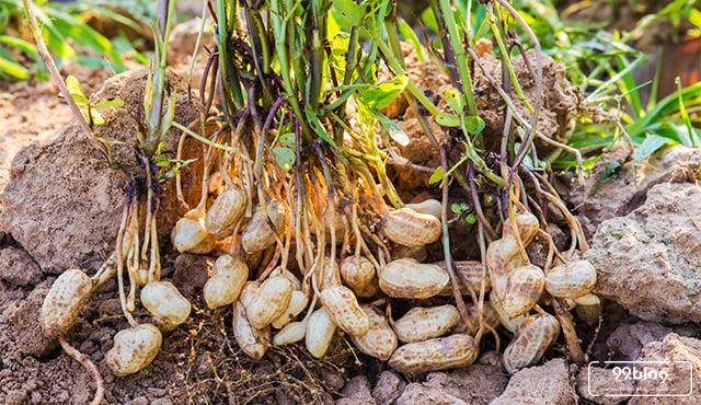 cara menanam kacang tanah