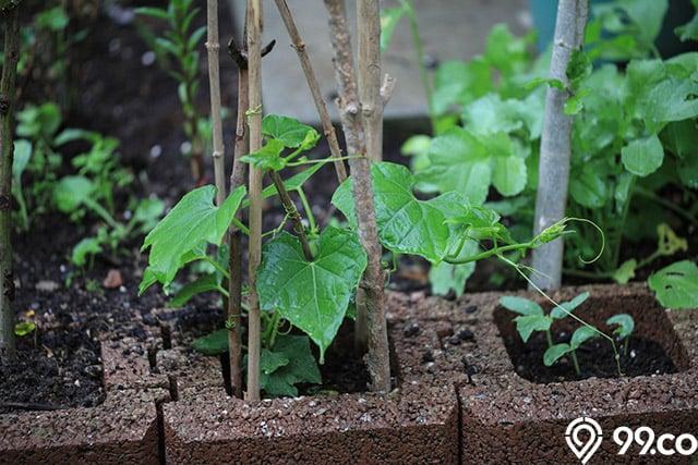 tanaman labu siam