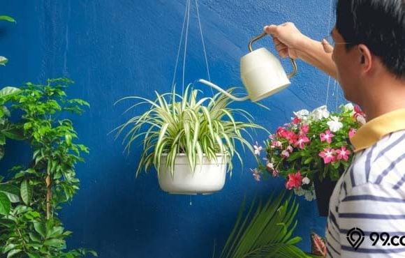 cara menanam lili paris