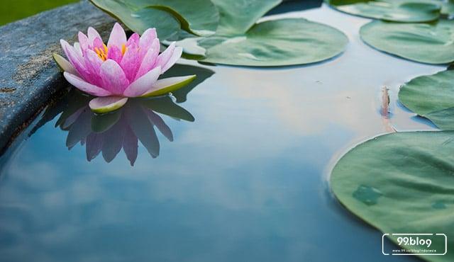Tanam Bunga Lotus di Rumah, Yuk. Bisa Sebar Ketenangan Alami, Lho!