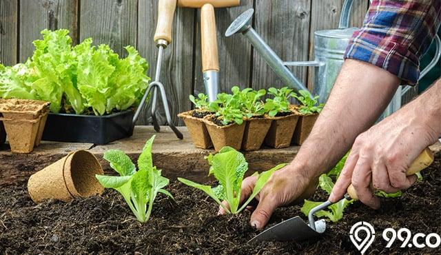 menanam selada