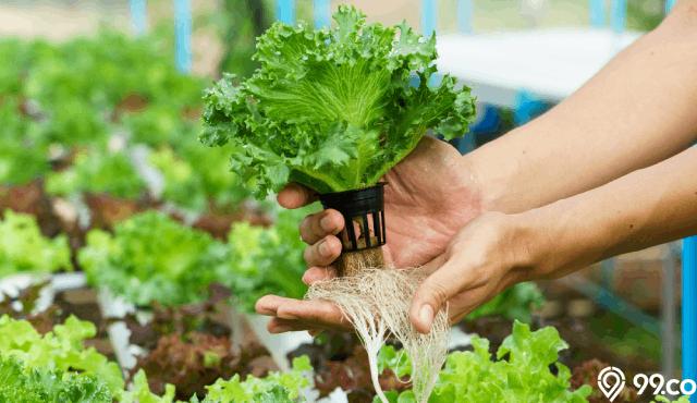 cara menanam tanaman hidroponik