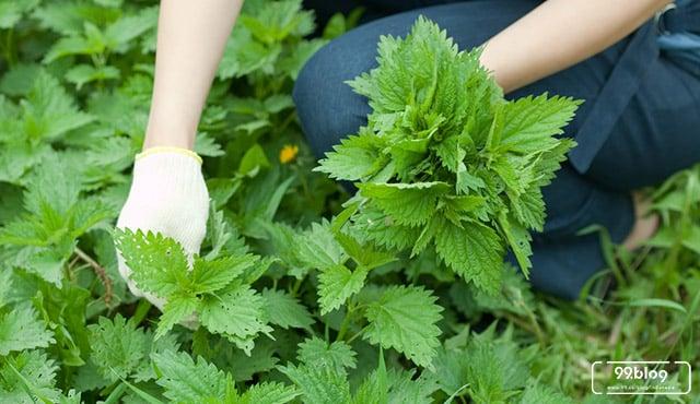 cara menanam tanaman toga