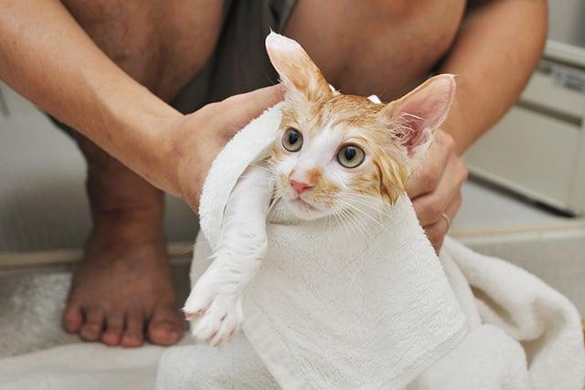 11 Cara Menghilangkan Kutu Kucing Secara Alami Mudah Dan Efektif