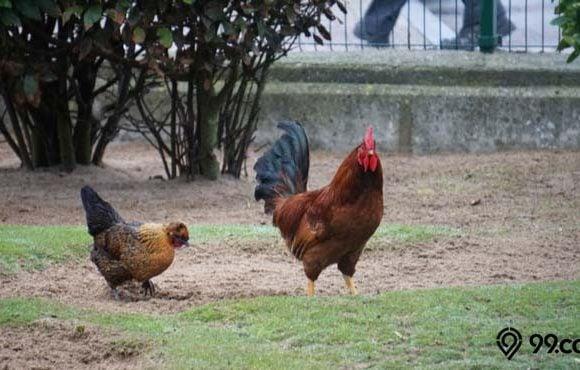 cara mengusir ayam dari halaman rumah