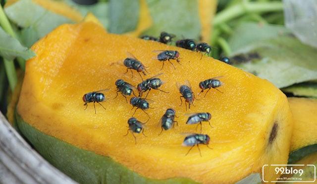 cara mengusir lalat buah
