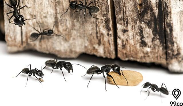 cara mengusir semut kayu