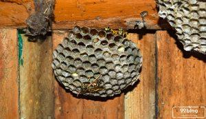 cara mengusir tawon