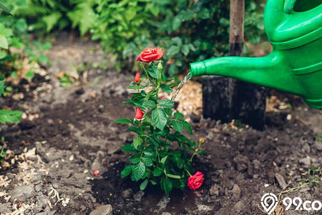 menyiram bunga mawar