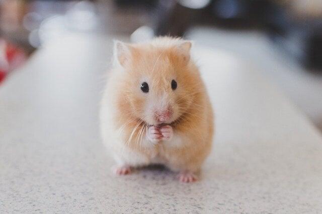 cara merawat hamster coklat