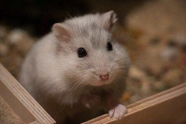 9 Cara Merawat Hamster Agar Tumbuh Sehat Dan Tak Cepat Mati