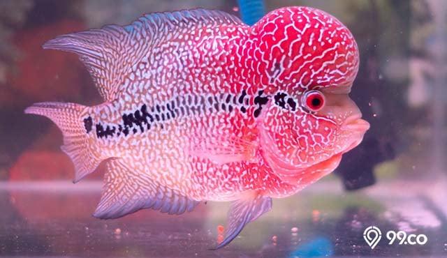 8 Cara Merawat Ikan Louhan yang Baik dan Benar. Pecinta Ikan Wajib Tahu!