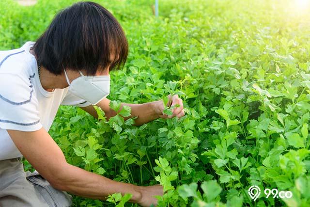 cara merawat seledri