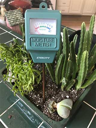 cara merawat succulent