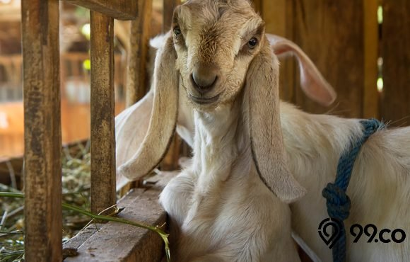 cara ternak kambing etawa