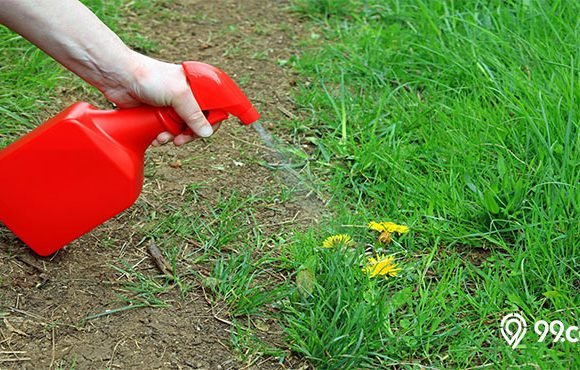 cara membasmi rumput liar di taman