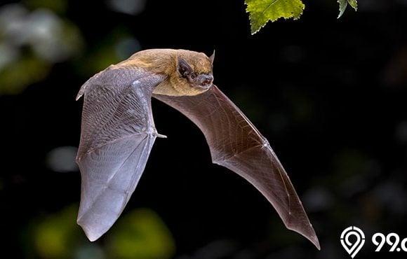 kelelawar terbang