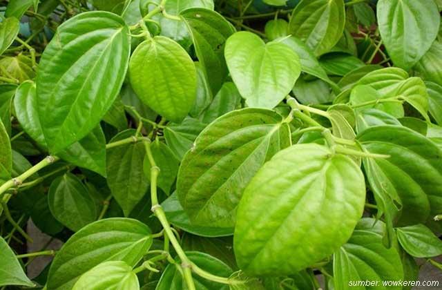 jenis daun sirih