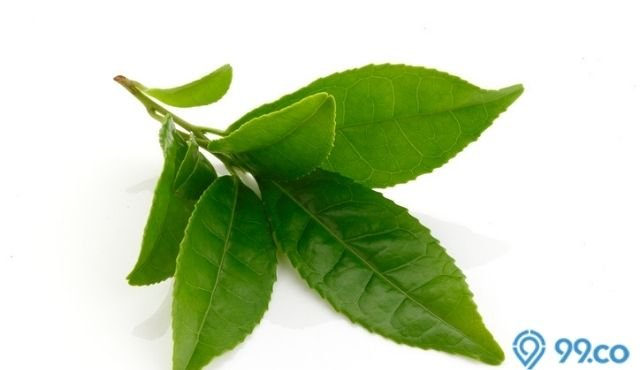 cara menumbuhkan rambut menggunakan daun teh hijau