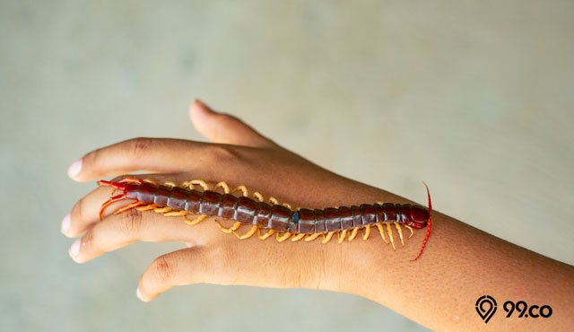 5 Cara Mengobati Gigitan Kelabang yang Benar agar Tidak Infeksi. Mudah, kok!
