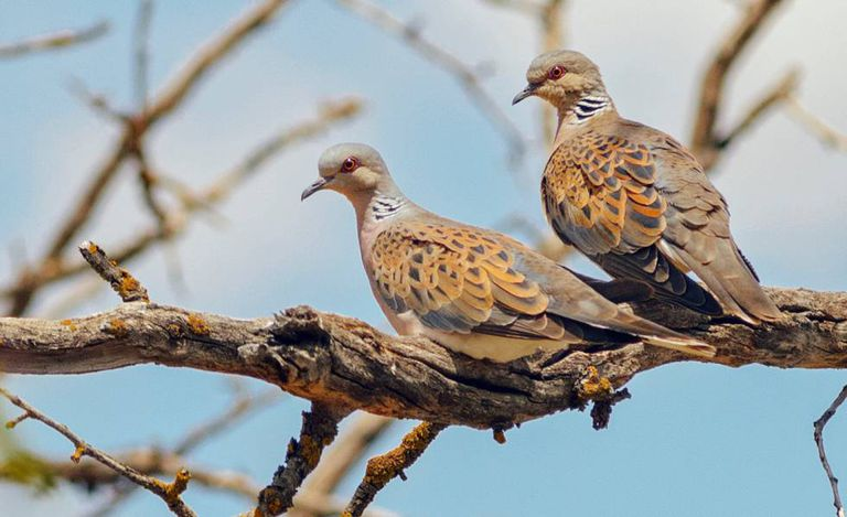 mitos burung perkutut