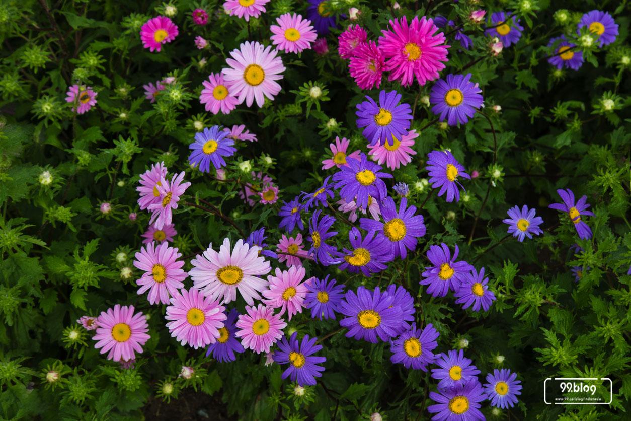 jenis tanaman hias garden mum