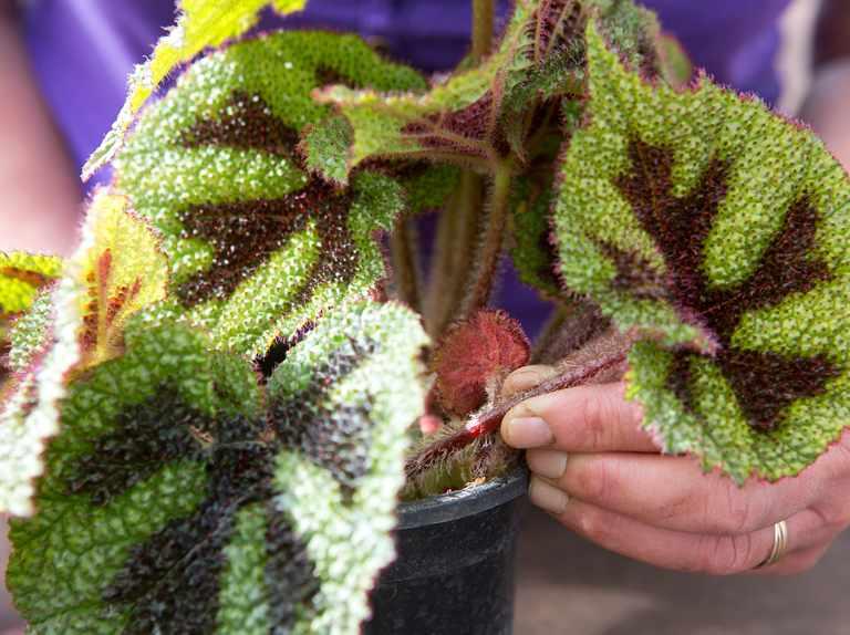 menanam begonia