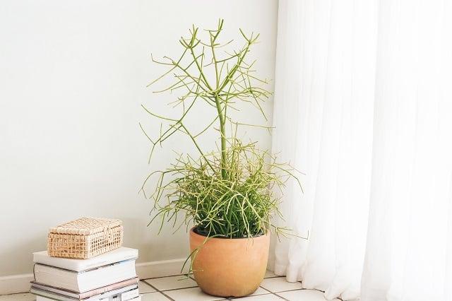 tanaman hias indoor kaktus pensil