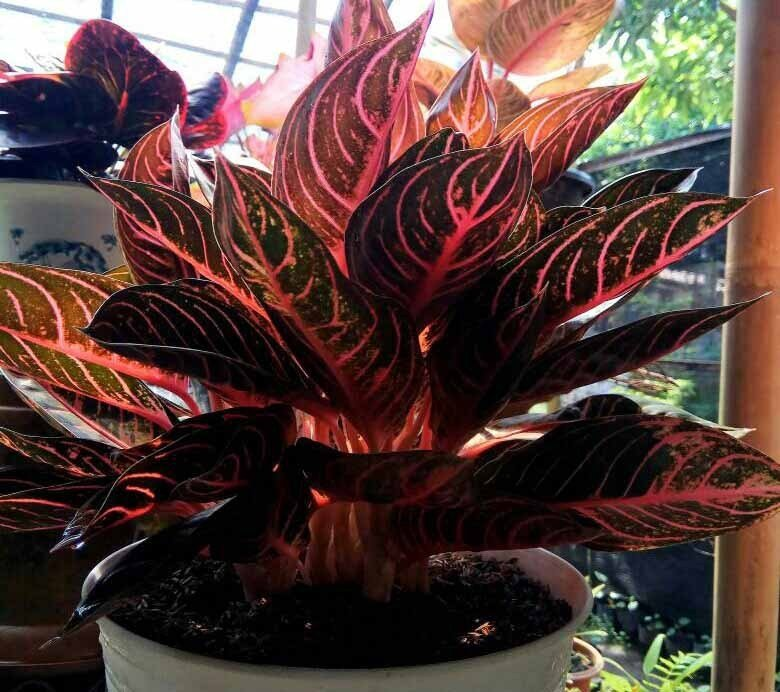 Aglonema Red Sumatera