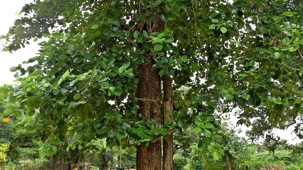habitat pohon kayu cendana