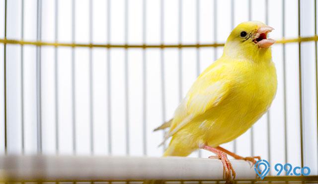 6 Harga Burung Kenari Tercantik Yang Memiliki Kicauan Merdu