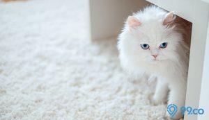 kucing persia putih