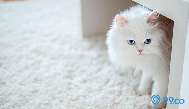 Harga Kucing Persia Terbaru 2021. Ada yang Rp200 Ribuan, lo!