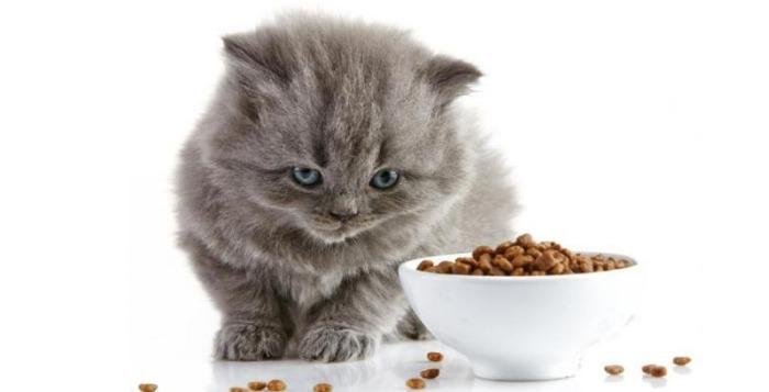 8 Penyebab Kucing Tidak Mau Makan Kira Kira Apa Saja Ya