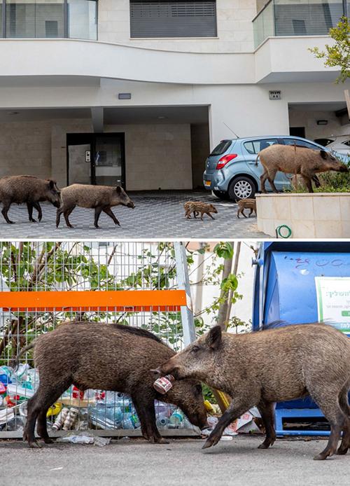 hewan babi hutan