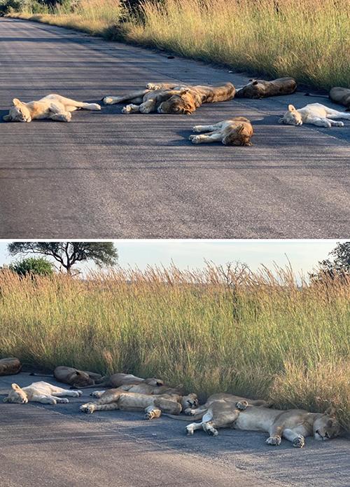 hewan singa berkeliaran