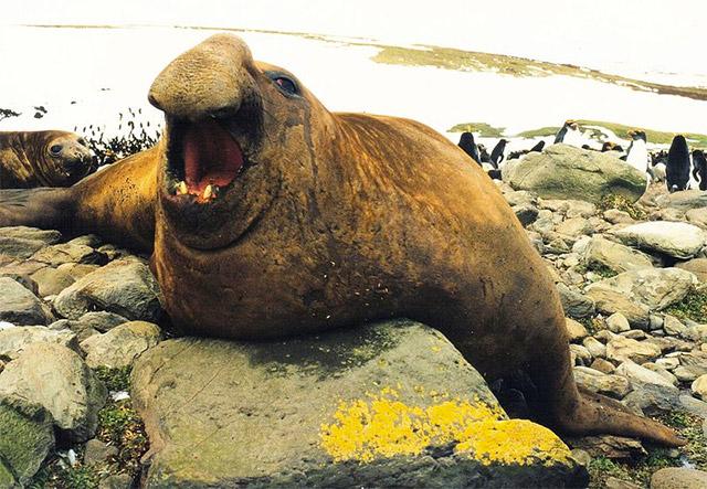 gajah laut