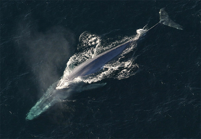 paus biru