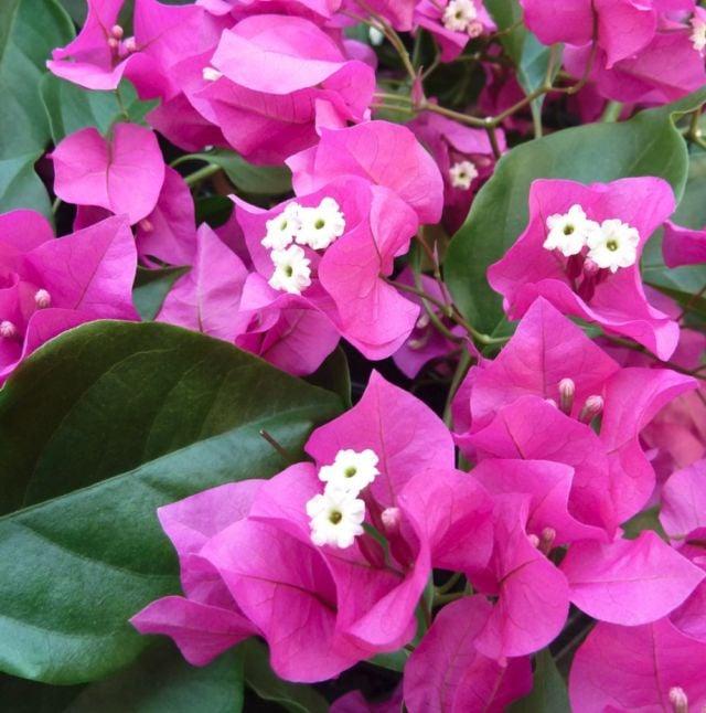 Mengenal Bunga Bougenville Mulai Dari Jenis Hingga Manfaatnya
