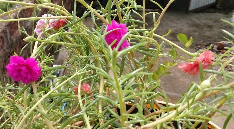 bunga jam 9