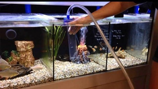 membersihkan aquarium dinding