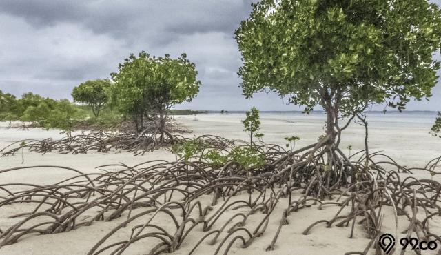 12 Manfaat Hutan Bakau untuk Kehidupan Lingkungan di Pesisir Pantai