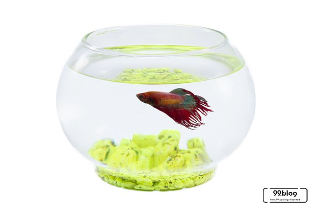 Cara Merawat Ikan Cupang Agar Cantik Ekor Tubuhnya
