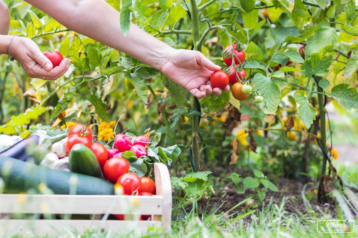 Cara Menanam Tomat Di Kebun Pekarangan Rumah Tak Sulit