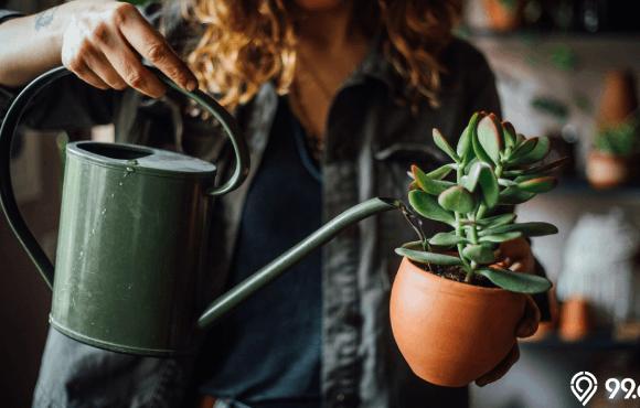 tanaman pembawa hoki