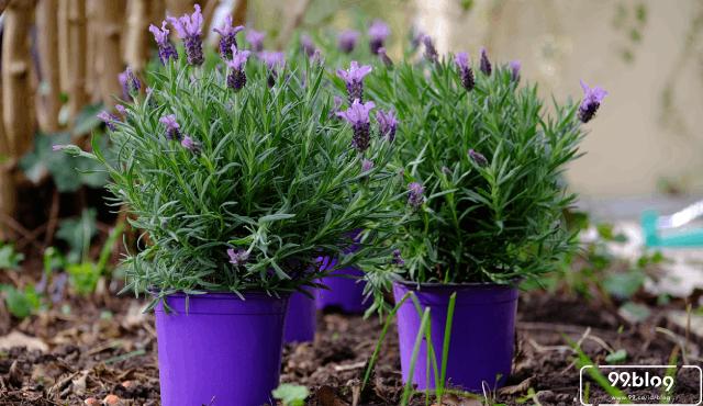 Cara Menanam Lavender, Si Ungu dengan Beragam Manfaat!
